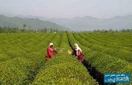 کاهش تولید چای به دلیل خشکسالی