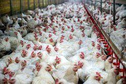 سیر نزولی قیمت مرغ در بازار