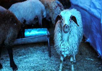 کشتار پرخطر گوسفند در خیابانهای تهران