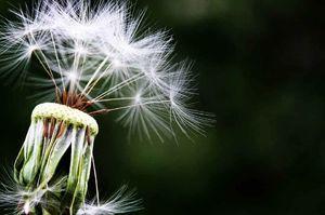 ۱۰ خاصیت دارویی گل قاصدک