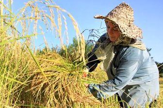 واکنش به آلودگی کشت دوم برنج