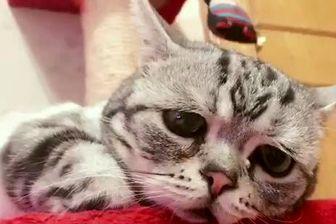 گربه ناقل انگل نازایی در انسان