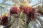 برداشت خرمای استعمران از نخلستانهای غزاویه - کارون /گزارش تصویری