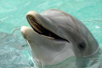 دلفین ها در آب به بچه های خود شیر میدهند+ جزئیات