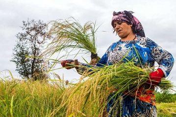 برداشت خوشههای برنج در گیلان/گزارش تصویری