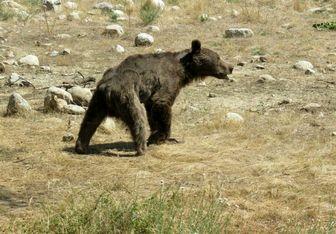 افزایش حمله خرس به انسان در ایران